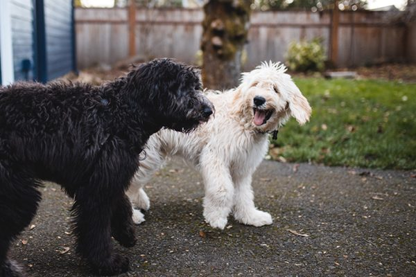dogs_play